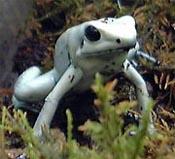 モウドクフキヤガエル