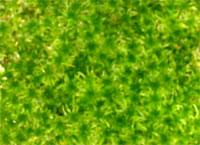 生きている水苔