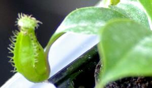 ウツボカズラ Nepenthes alata